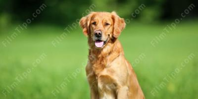 Golden retriever film